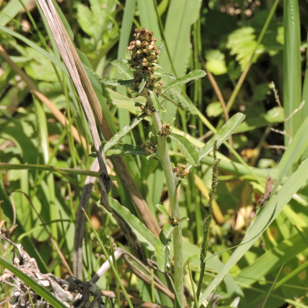 昨日、北九州市お郊外で見た野草です。自力で調べたら、候補として、チチコグサ、チチコグサモドキ、ウラジロチチコグサが出てきました。 そのちのどれでしょうか? 野草に詳しい方、教えて下さい