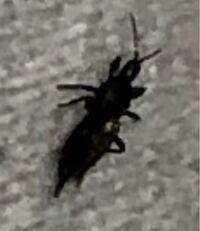 虫注意 これはなんという虫ですか? 部屋に出てきたのですが大きさは0.1cmくらいでした