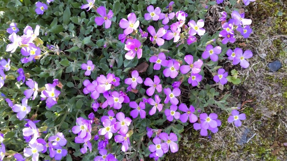 画像の花の名前を知っている方いませんか? 背丈が低く、多年草です。 よろしくお願い致します。