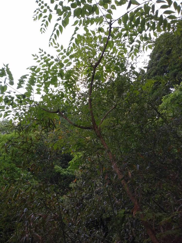 コレはたらの木でしょうか? 幹にトゲもありました。
