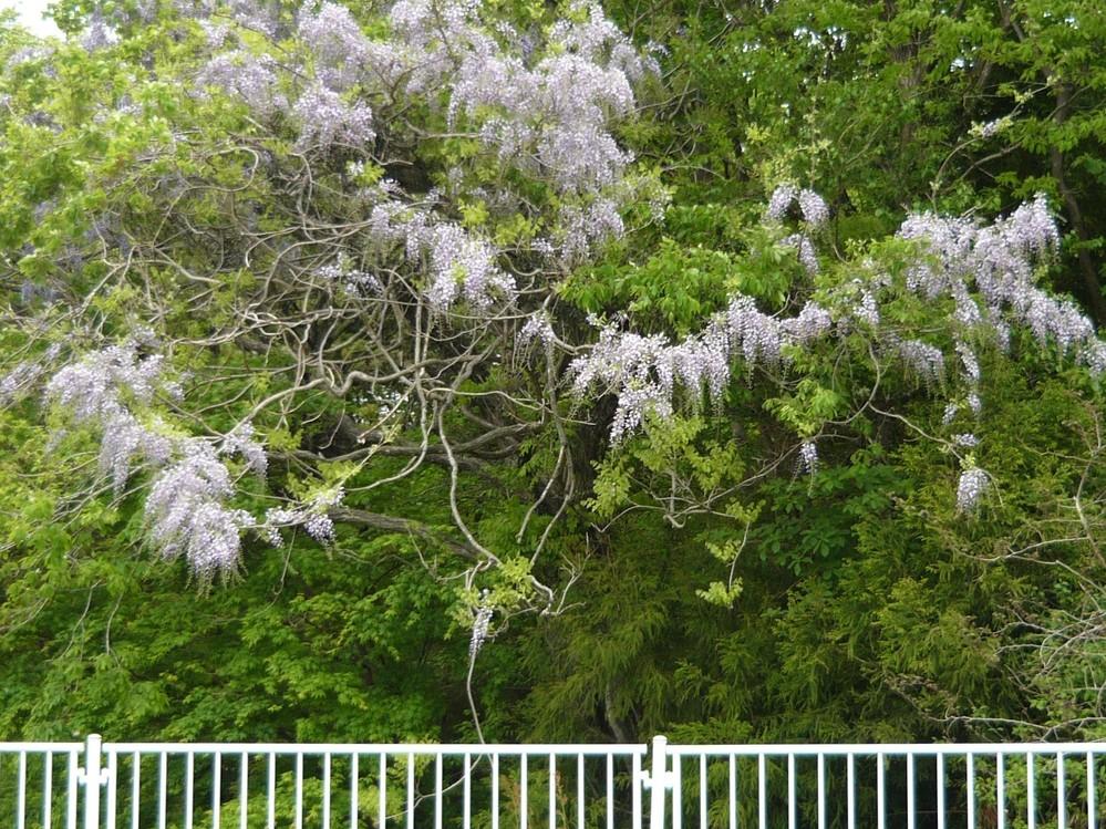 今、関東北部では藤の花が真っ盛りです。 と言っても桜のように華やかではありませんが、車で走っている田舎の道沿いに目を奪われるような藤を見ることがあります。コロナ禍でなければ、ぜひお出でくださいと言いたいところですが…。 皆さん、連休はどのように過ごされましたか?
