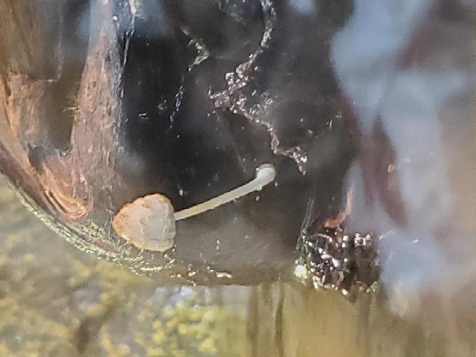 トカゲの水槽の流木に生えてたキノコです。 種類のわかる方、おりますでしょうか?