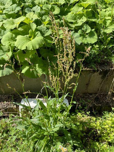 この草はなんですか? 妹が『しょっぱしょっぱ』と呼んでいて茎をしゃぶってました笑 調べてみたらカタバミという植物が出てきたのですがこれとは違いました。 味は酸っぱいそうです。 食べても大丈夫なヤツなんでしょうか?