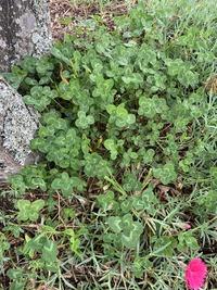 クローバーが沢山生えているところを見つけたのですが、ぱっと見10本くらい4つ葉が見つかりました。 これは普通のクローバーなのでしょうか、、?