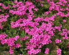 芝桜を育てている方へ質問があります。 私の庭の一角にも芝桜を昨年から育てているのですが 芝桜をめくると、ナメクジやダンゴムシなどがいて 困っています。 また、芝桜の間からドクダミ草などの地下系の草が 飛び出してきます。 皆さんはどうやっていますか?