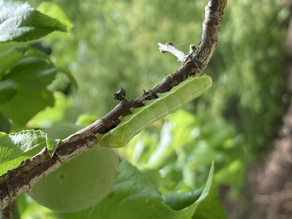 写真の幼虫は何の種類ですか?