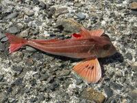 新潟で釣れた魚です。 この赤い魚の名前を教えてください。
