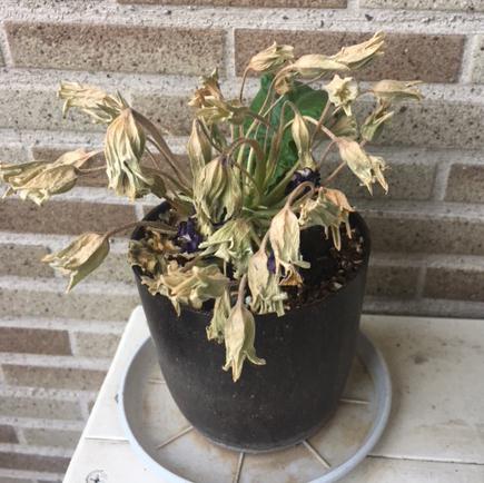 半分枯れてしまったプリムラの夏越しについて プリムラジュリアンなのですが、事情によりしばらく水やりが出来ず、見た目はほぼ枯れてしまいました。その後一応水やりをしていたところ、根元だけは生きていたようで、立ち上がる感じになり、新しい葉が出てきました。 このまま夏越しさせて、また秋に花をつけたら嬉しいのですが可能でしょうか? またその場合、枯れた部分など切って取り除いた方がいいでしょうか?