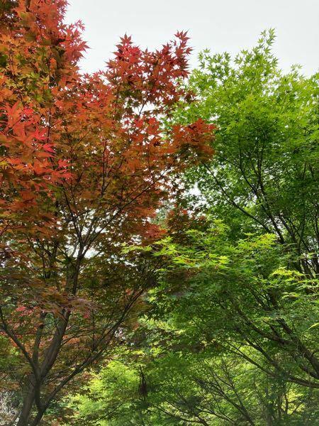 同じもみじに見えるのですが、隣合わせの木ですが朱と緑で 色が違います。 この色の違いは どこからくるのでしょうか。そもそも、違う木なのでしょうか