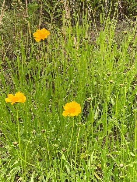 今日散歩の時に見つけたのですが、この花が何かわかりますか?教えてください!