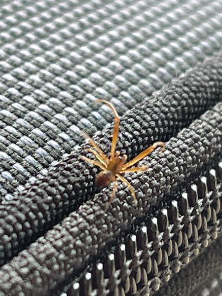 この蜘蛛は何て言う蜘蛛でしょうか? 蜘蛛は基本的に殺傷しないのですが、毒蜘蛛だと話は変わってきます 全長は5ミリ程です。