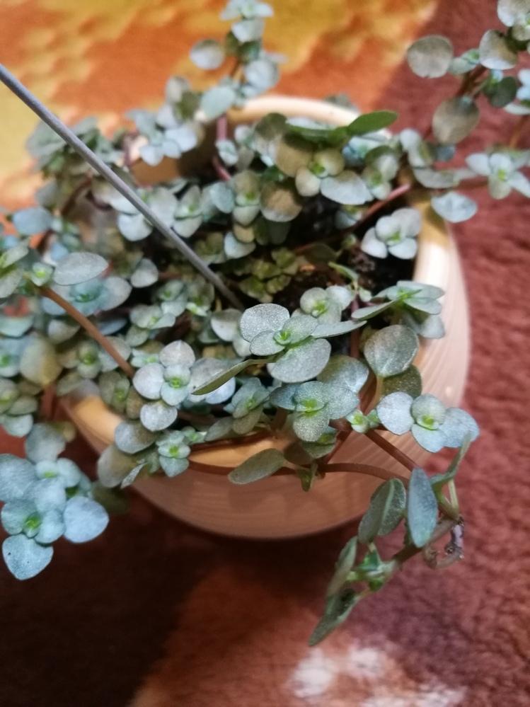 この観葉植物の名前を教えてください。 よろしくお願いします。