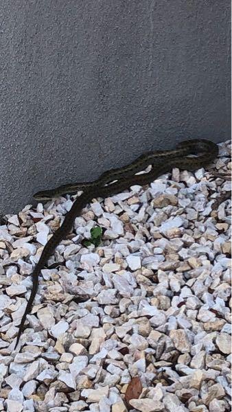今朝うちの駐車場に居たのですが、何という種類の蛇ですか? 毒はありますか? さっき見たらもう見当たりませんでした。