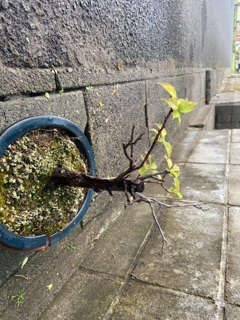 盆栽の梅の木が手入れ出来ずに一部が葉をつけなくなってしまいました。 今後どのようにしたら良いでしょうか?枯れた枝を切った方が良いですか?よろしくお願いします。