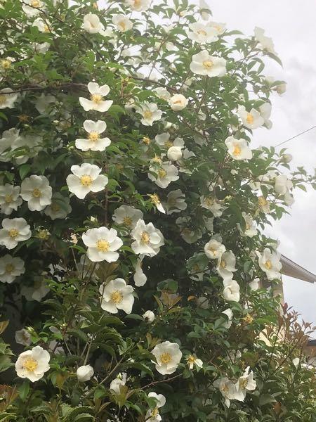 この花木の名前教えて下さい