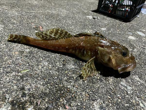 これは何の魚ですか?? コチなのはわかるんですが、種類が…