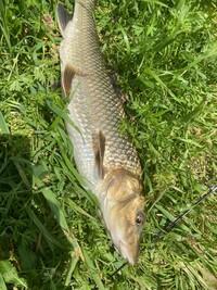 こちらの写真の肴の名前わかる方教えて頂きたいです。柳瀬川で釣りました。
