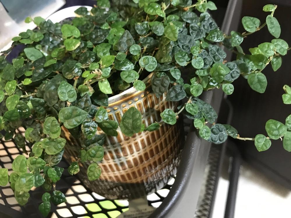 先日雑貨屋さんで買った観葉植物なのですが、うっかり名前を忘れてしまいました。 なんという観葉植物か教えてください。