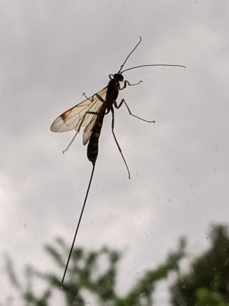 これは何という虫でしょうか?google lensではハチ目のMegarhyssa atrataと出たのですが、北アメリカに生息するそうなので違う種かな? と思いました。産卵管?がめちゃくちゃ長いです。 都内の室内にて、5月上旬に撮影しました。