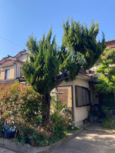 この家のカイズカイブキの木は、 もう手の施しようがないくらいですか? もうバッサリいっちゃった方が良いですか?