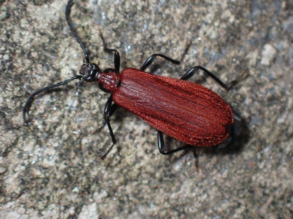 画像の虫の種類を教えてください。アカハネムシの一種と思いますが、詳しい種類は何でしょうか。