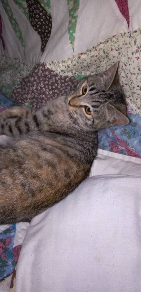 この子猫はキジトラでしょうか?むぎわらでしょうか? 保護猫ハウスより譲渡していただき、キジトラさんと言われたのですが最近むぎわらという猫がいる事を知り似ているのではと思いました。女の子です。 ※実家のほうで譲渡して頂いた猫ちゃんです。以前質問したインコちゃんとは接触はありませんのでご安心ください。