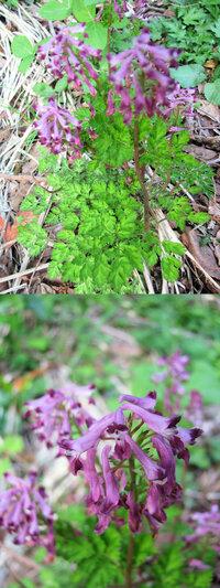 新型コロナウイルス蔓延という事で、結構 皆さん山(登山)や草原(キャンプ)など山野に行っているそうですが、 僕もカメラ片手に言ってみました。 画像 ↓ はそこ(山)で撮った写真です。  紫色のラッパ型?の花が沢山ついている植物です。 高さは目測で15cmくらいの小さな植物です。 何という名前の植物でしょうか??