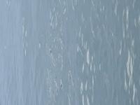 海面に鼻?だけ出して漂うこの魚の大群はボラですか?画像見えづらくてすみません、、。