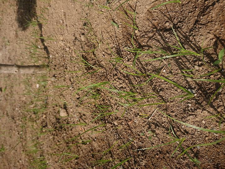 この雑草は種類はなんですか?教えて下さい