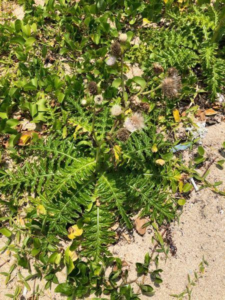 沖縄の海辺で見つけたこの植物 馬鹿でかいタンポポみたいなこの植物 なんて言う名前でしょう。