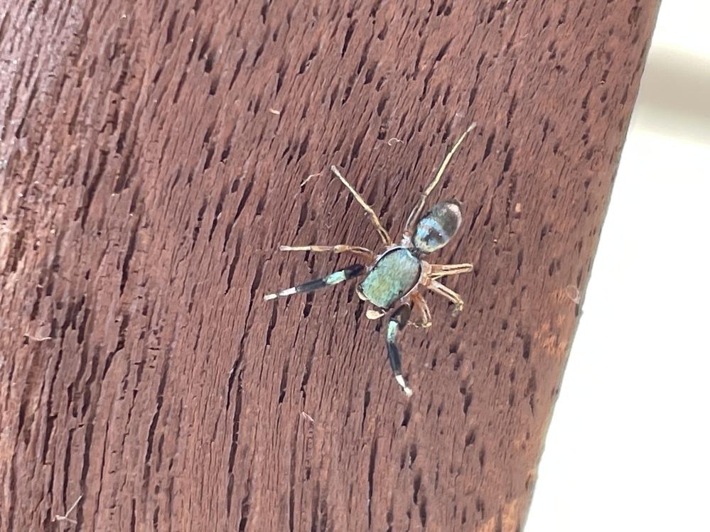 この写真にうつっている緑色の蜘蛛はなんていう名前の蜘蛛ですか? 最近庭でご飯を食べていると必ずでてきてうろうろしだすので可愛いんですが どういう性格の蜘蛛なんでしょう? 毒はありますか?