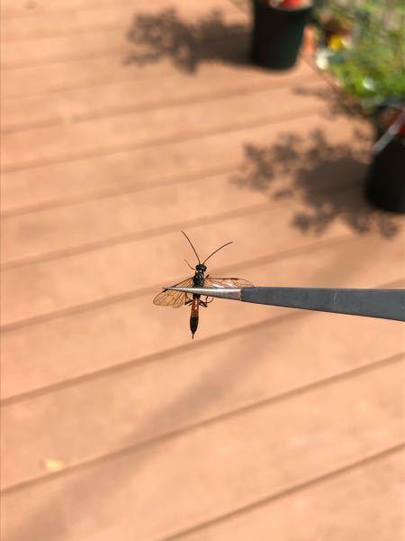 お尻に針があるようです。 なんと言う蜂ですか?