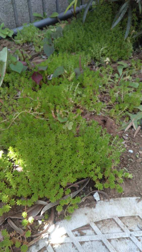 自宅の庭に苔なのか雑草なのか分からないものが点在し始めました。 これは何なのか?そして害はあるのか?お分かりになる方がいらっしゃれば お教え下さい。宜しくお願い致します。