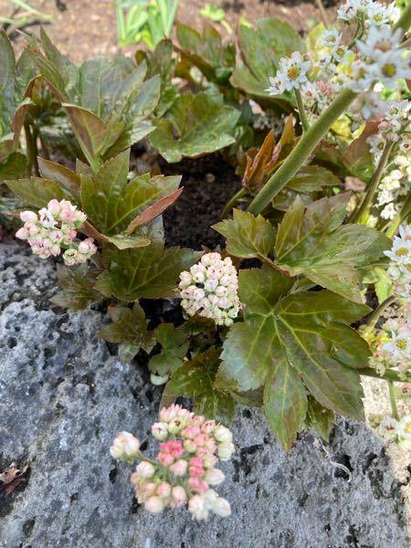 この 軽石にはって増えていく植物は何て言う植物でしょうか? わかる方 居ましたらよろしくお願いします。 5月9日現在、北海道ですが開花しています!