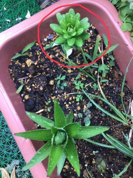 ゆり、カサブランカの球根から 芽が出ました。 この2つの芽を見比べると 葉が違います。 丸みをおびてる上の芽は カサブランカじゃないんでしょうか?