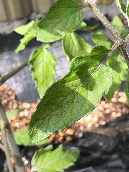 初めてミニトマトを育てているのですが いつの間にか葉っぱに茶色の斑点?が出来ていました。これは病気でしょうか? 対策を教えてください!