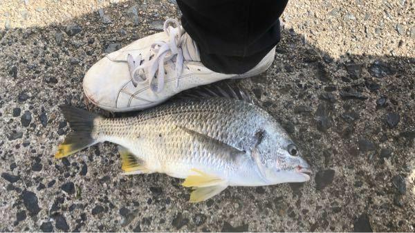 初めて大きな魚釣りましたが、なんていう魚でしょうか??刺身にすると美味しいですか??