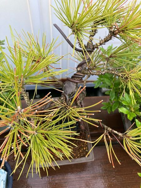 大事にしている黒松の盆栽が枯れそうです 既に枯れてる?? 植え替え時に根っこを痛めつけたせいか 何とか復活しないでしょうか? 日に当てない方がいいとか肥料はやらない方がいいとか 逆にやった方 がいいとか 何かアドバイスお願いします!