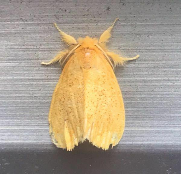 蛾の種類 写真のドクガについて 種類が分かる方、ご教示ください。 本日福岡県で撮影したものです。 ゴマフリドクガでしょうか。