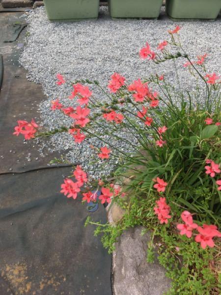 庭の雑草なのに花が綺麗で抜けません。名前分かりますか?