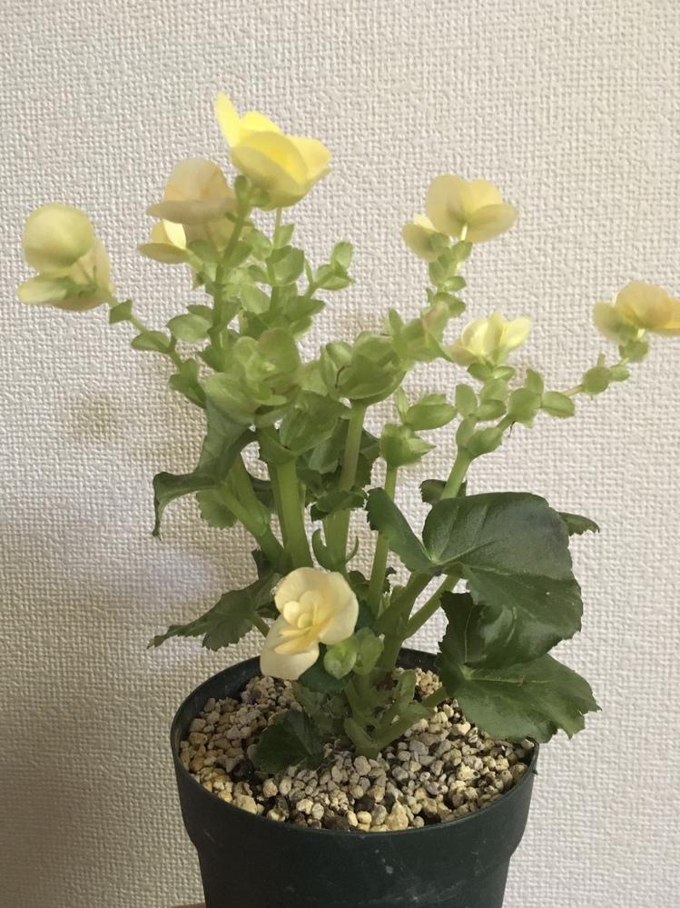 ベゴニアのお手入れについて教えて下さい。 三月上旬に頂いて、まだパラパラとお花が咲き続けています。 先週一回り大きな鉢に植え替えて、葉っぱは元気な様子です。 枯れた花は摘んでいますが、もう花が咲いていない茎は切ってしまった方が良いのでしょうか?