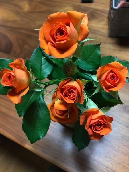 この薔薇の品種を教えて下さい 色はオレンジで葉っぱはギザギザになっています。茎には細かい棘があります。 フロリバンダローズかと思いましたが画像検索したら少し違うような気がしまして・・・ お分かりの方教えて下さい。 よろしくお願いします。