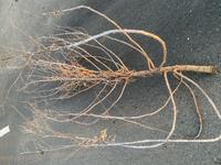 雑草の中に、まるで木のような枯れた植物があったのですが名前を教えてほしいです。 先日会社の敷地にある空き地の草刈りをしたのですが、1年以上放置していた事もあって高さが1メートル以上の草が生い茂っていました。 刈っているうちに雑草の名前が気になりだして調べてみたらほとんどがセイタカアワダチソウやオオアレチノギクという種類のようでしたが、その中に枯れた木のような、高さ(長さ)1.5メートルほど...