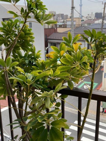 ベランダで育てている植物です。 葉が黄色くなったり、茶色くなります。 他のサイトを見ると日焼けや、水のやらなさすぎと出てくるのですが、水は3日に1回ほどやっています。 他にも原因があるのでしょうか、詳しい方お願いします。。