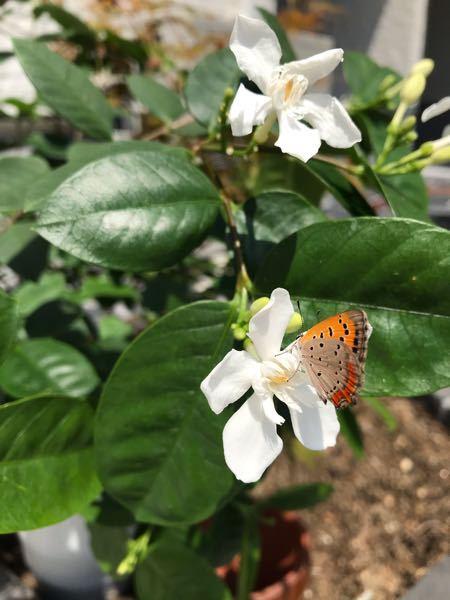この花の名前が分かる方、教えてください。 また枯れてしまった場合、もう復活は見込めないのでしょうか?