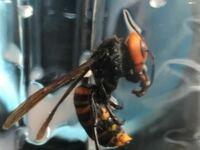 これ家に入ってきたオオスズメバチなのですが、針がない様に見えるのですが、オスなんですかね?又は針がありますよと言う事であれば教えてください。でも、かなり大きかったので勝手に女王蜂だと思っていたのですが 、実際どうなのでしょうか。