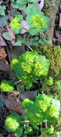 新型コロナウイルス蔓延という事で、結構 皆さん山(登山)や草原(キャンプ)など山野に行っているそうですが、 僕もカメラ片手に行ってみました。 画像 ↓ はそこ(山)で撮った写真です。  大木の下にひっそり咲いていた小さな花です。 何という名前の植物でしょうか??