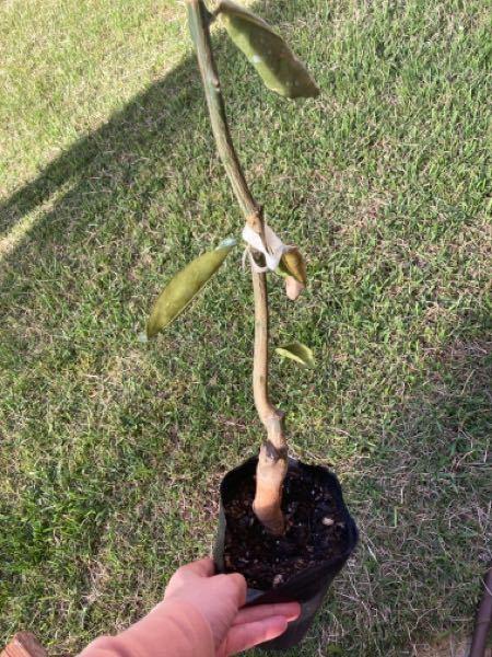 マイヤーレモンの苗を冬に購入しました。 ポットから出し根を確認したらほとんどなかったので、土を新しくし同じポットに戻しました。 もう5月ですが地上部は何も変わらずです。 ちゃんと生きているのでしょうか。 もう暖かくなるのに、新芽なども出てきていません。