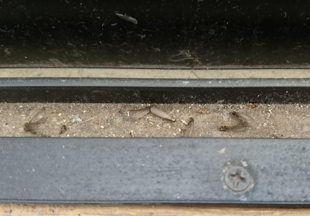 毎年5月中旬頃に1日だけ大量発生する羽虫が何か気になってます。 大きさは1cm弱 明るい所に群れる(窓や電気) 発生は1日のみ(昼間) 羽がすぐ取れてバラバラになる 毎年5月の暖かい日に大量発生する 解る人居ますか? 宜しくお願いします。