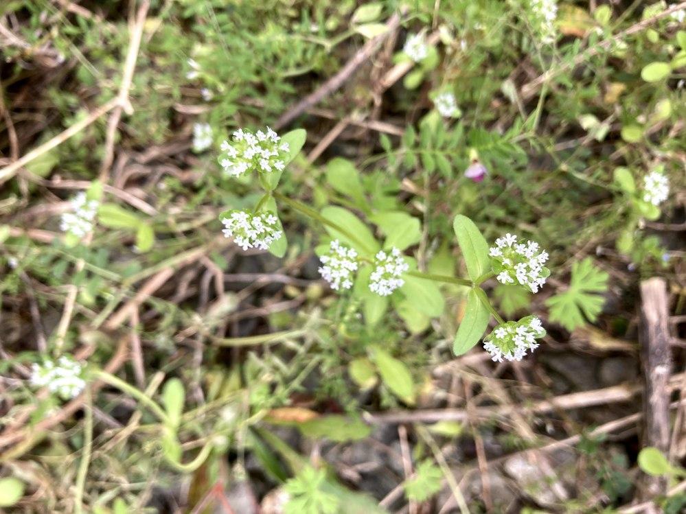 植物の名前を教えてください。京都府長岡京市の空き地で見つけました。